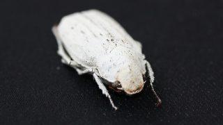 besouro-branco