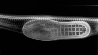 chinelo-cobra