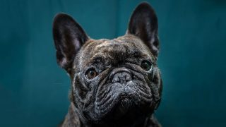 french-bulldog-getty