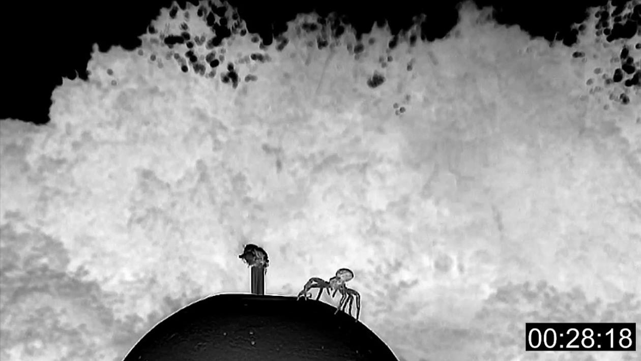 Veja aranhas-caranguejo levantando voo com paraquedas de seda de três metros