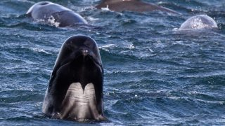 Concern Grows Over Possible Mass Stranding Of Upto One Hundred Pilot Whales On A Scottish Beach