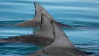 golfinho-capa