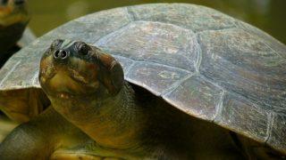 tartaruga-wikimedia