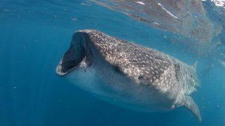 tubarao-baleia