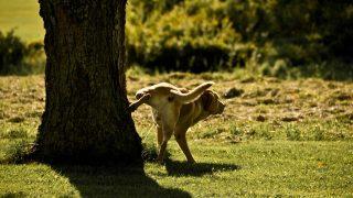 cachorro-xixi-wikimedia