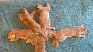 esquilos-presos-rabo