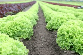farm-produce-field-food-89267
