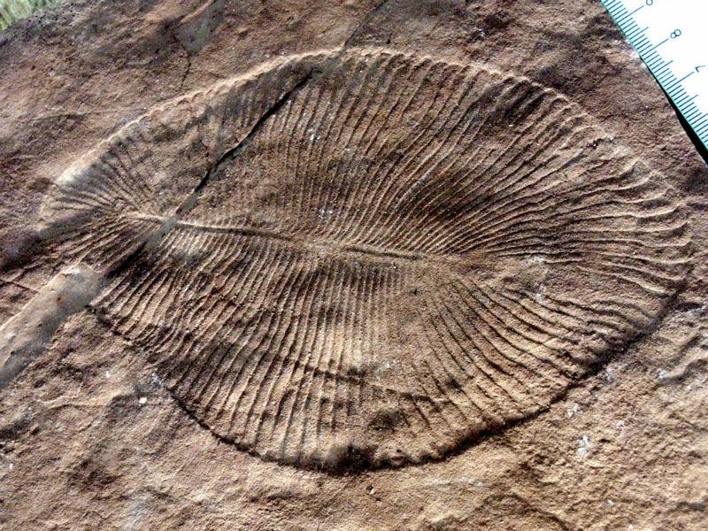 Este fóssil pode pertencer ao animal mais antigo do mundo já descoberto, com 558 milhões de anos