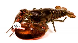 lagosta chapada giz asks