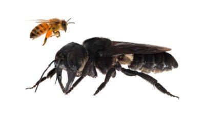 Abelha gigante de Wallace em comparação com abelha-europeia