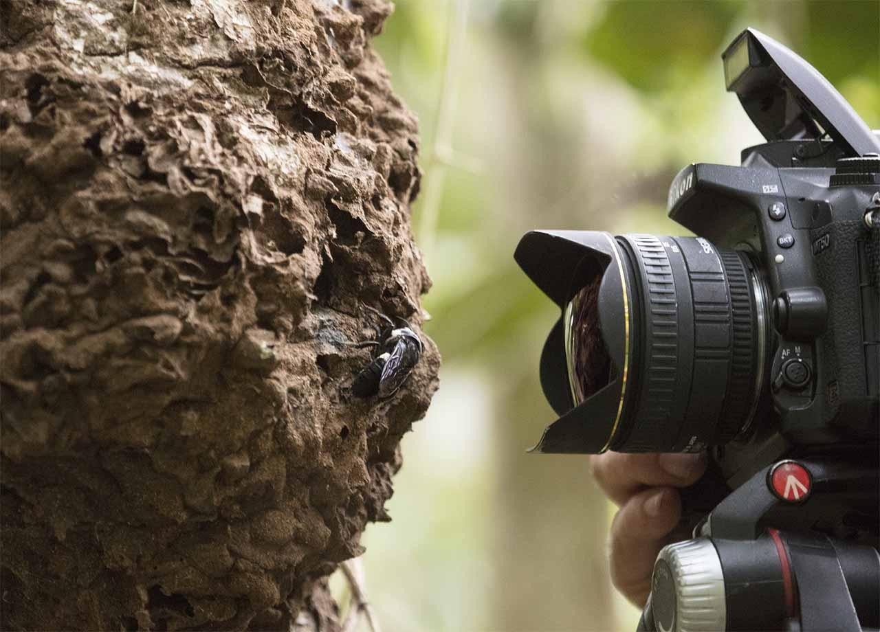 Fotógrafo Clay Bolt registra a abelha gigante de Wallace