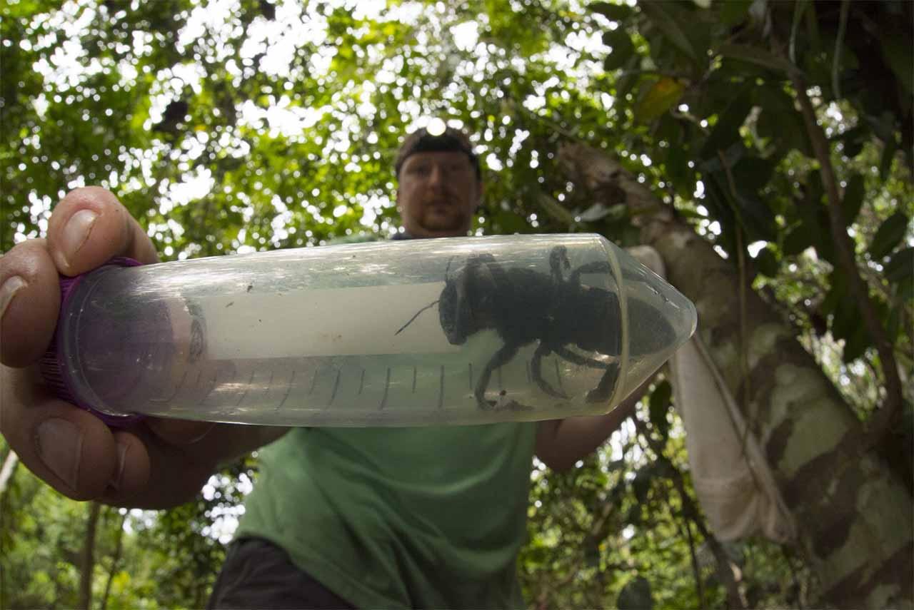 Abelha gigante de Wallace em um tubo de plástico