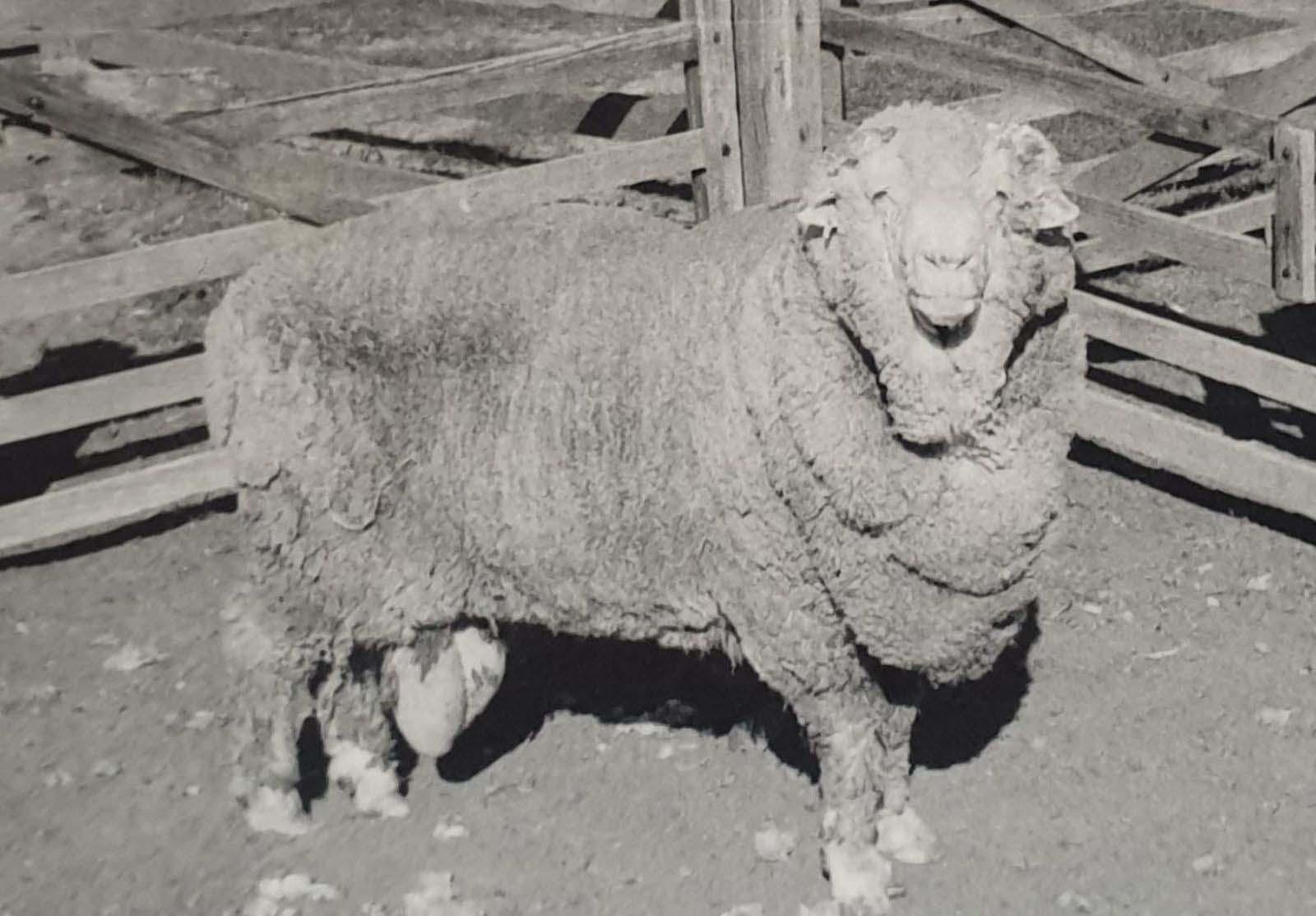 Um dos carneiros que doou sêmen há 50 anos