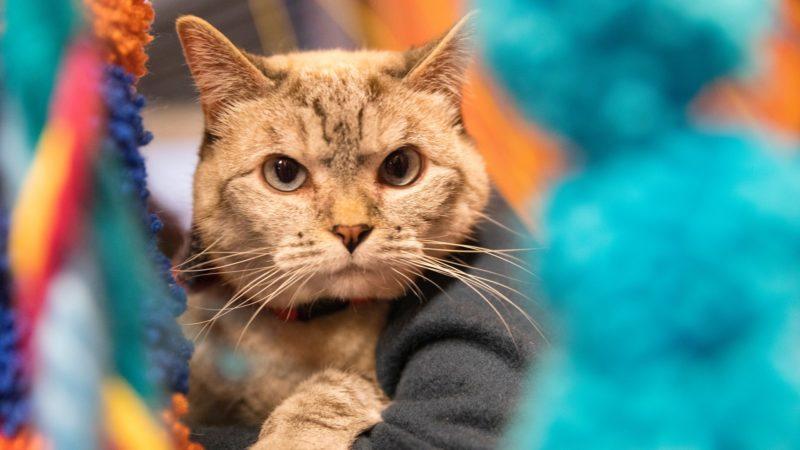 Gatos sabem seus próprios nomes? Cientistas falaram com eles para descobrir