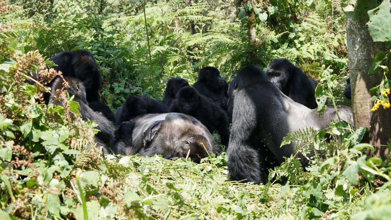 Um grupo de gorilas-de-grauer ao redor do corpo de um gorila macho encontrado na floresta do Parque Nacional Kahuzi-Biega.