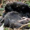 Um jovem gorila-das-montanhas olha o corpo de sua mãe horas depois de ela morrer no Parque Nacional dos Vulcões, em Ruanda