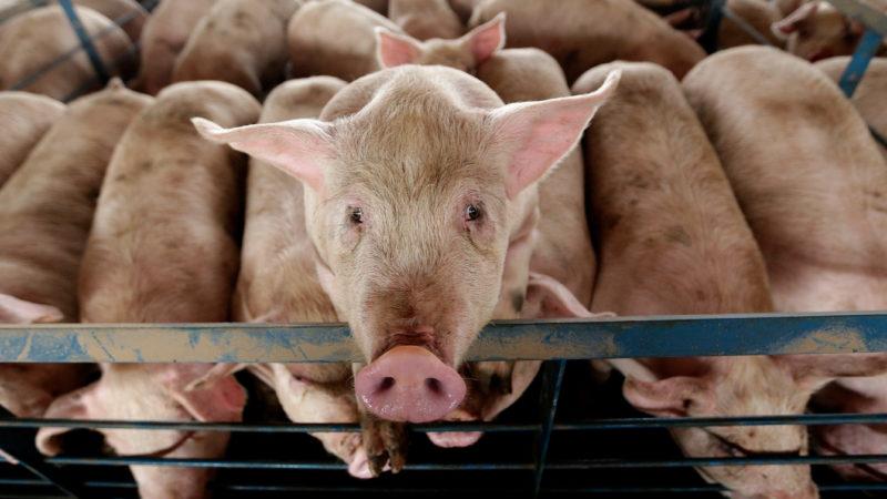 Uma série de porcos