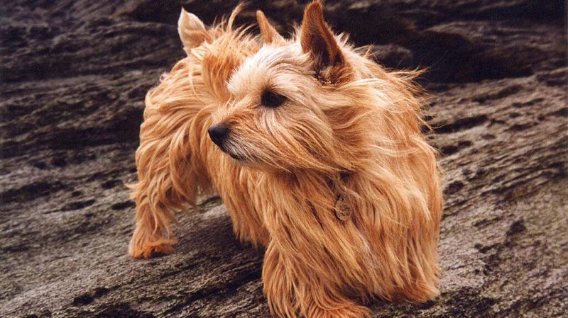 A descoberta de uma mutação pode explicar por que alguns cães têm dificuldades em respirar