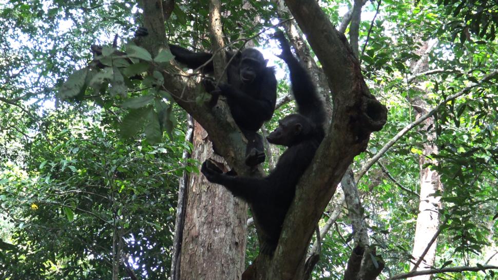 Dois chimpanzés em cima de uma árvore. O que está mais embaixo segura uma tartaruga com sua pata esquerda. O que está mais em cima olha para a tartaruga na pata do outro.