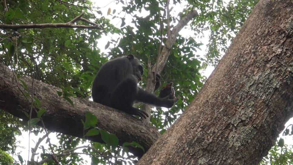 Outro chimpanzé sobre o galho de uma árvore. Ele está de lado, e dá para ver em sua pata direita uma tartaruga de casco para baixo. O chimpanzé olha a tartaruga.