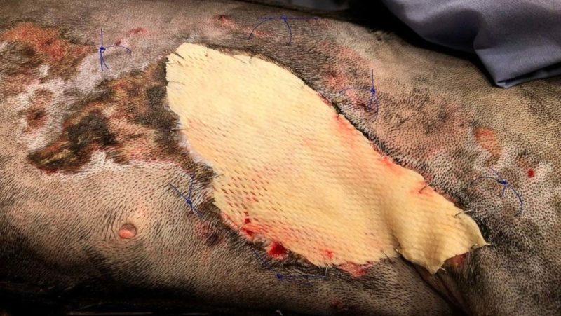 Enxerto de pele de peixe ajuda salvar vida de uma cachorrinha queimada nos EUA
