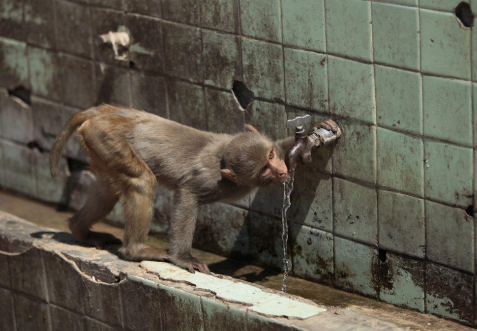 Macaco bebendo água em torneira na Índia