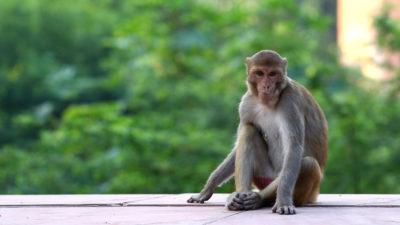 Macaco na região do Taj Mahal, na Índia