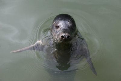 Foca-cinzenta dentro da água, com a cabeça para fora.