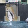 Caça de baleias no Japão