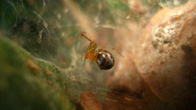 Uma das aranhas da espécie A. Studiosis