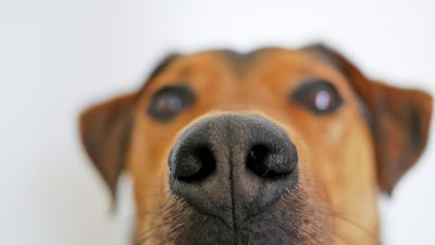 Close em focinho de um cão