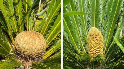 Foto mostra dois cones de cica. O da esquerda (fêmea) é mais arredondado, enquanto o da direita (macho) é mais comprido.