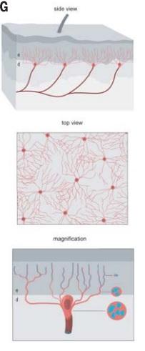 ilustração de células nociceptivas de Schwann