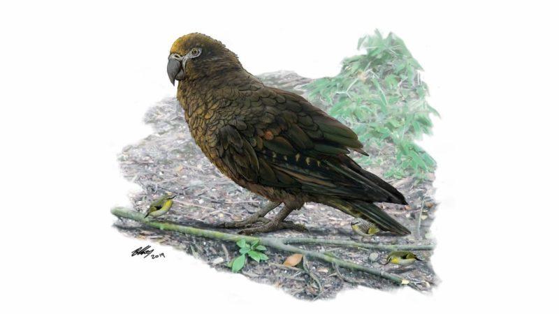 Ilustração do papagaio gigante ao lado de uma carriça neozelandesa.