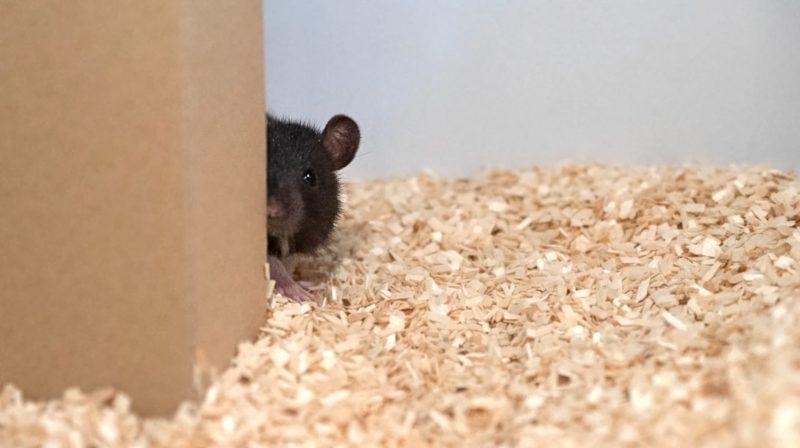 Cientistas ensinaram ratos a brincar de esconde-esconde e eles são realmente bons nisso