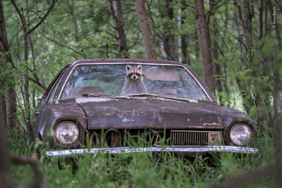 Guaxinim enfia a cabeça em buraco de para-brisa de carro abandonado.