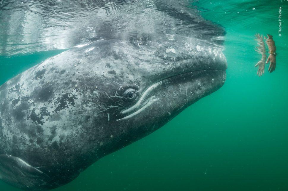 Debaixo d'água, uma baleia cinzenta se vira para duas mãos humanas que estão entrando na água.