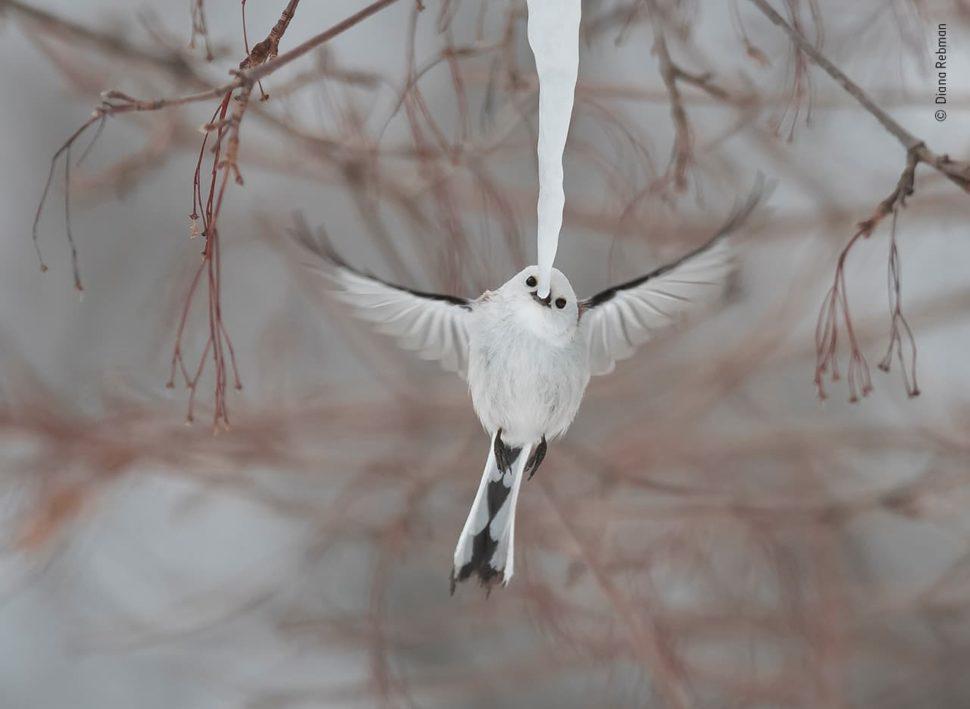 Um passarinho branco com rabo e asas pretos voa e tem seu bico próximo a um sincelo ou pingente de gelo.