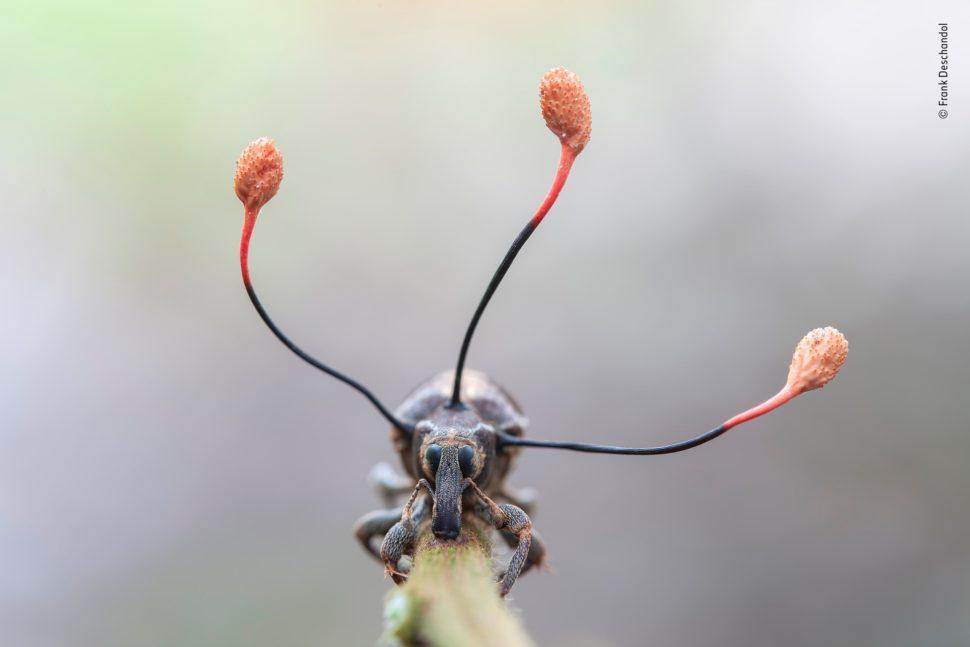 """Três """"antenas"""" pretas com pontas vermelhas, grandes e redondas, saem do tórax de um inseto."""