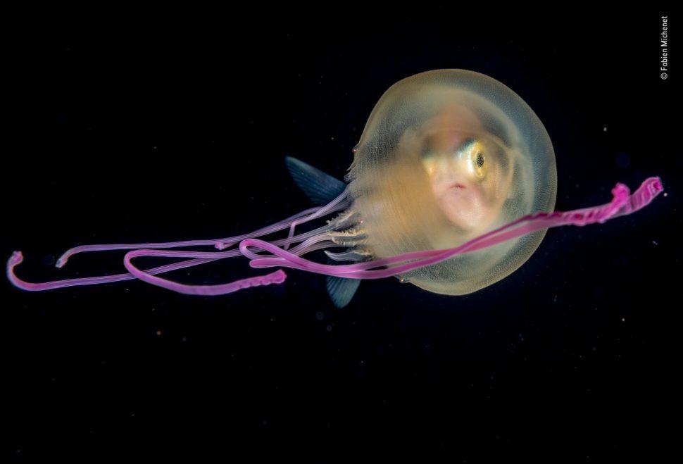 Um peixe entra em uma água-viva.