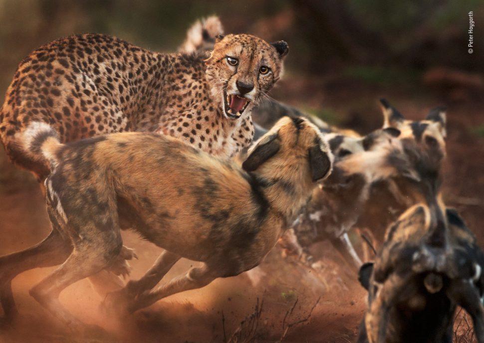Um guepardo ruge para um cachorro em um local terroso. Além deste cachorro, há pelo menos outros três na imagem -- como a fotografia foi tirada em movimento, não é possível distinguir todos os animais da cena.