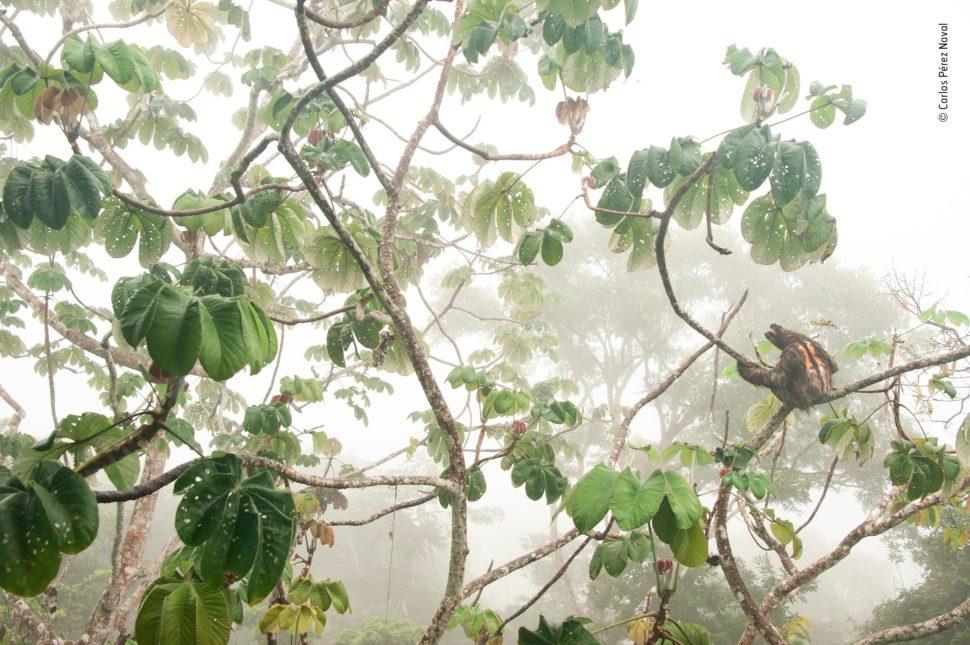 No meio da neblina, uma preguiça está parada no galho de uma árvore.