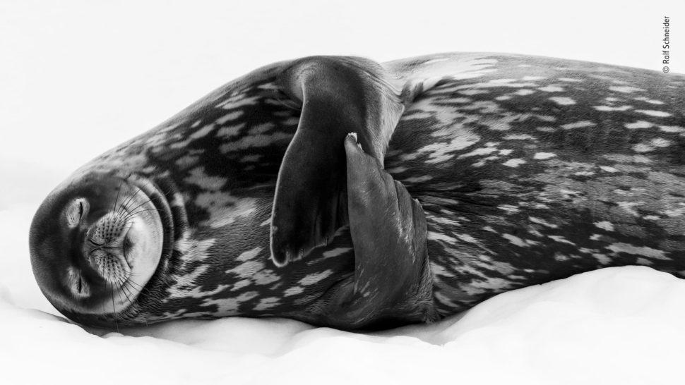 Uma foca preta com manchas brancas dorme sobre o gelo.