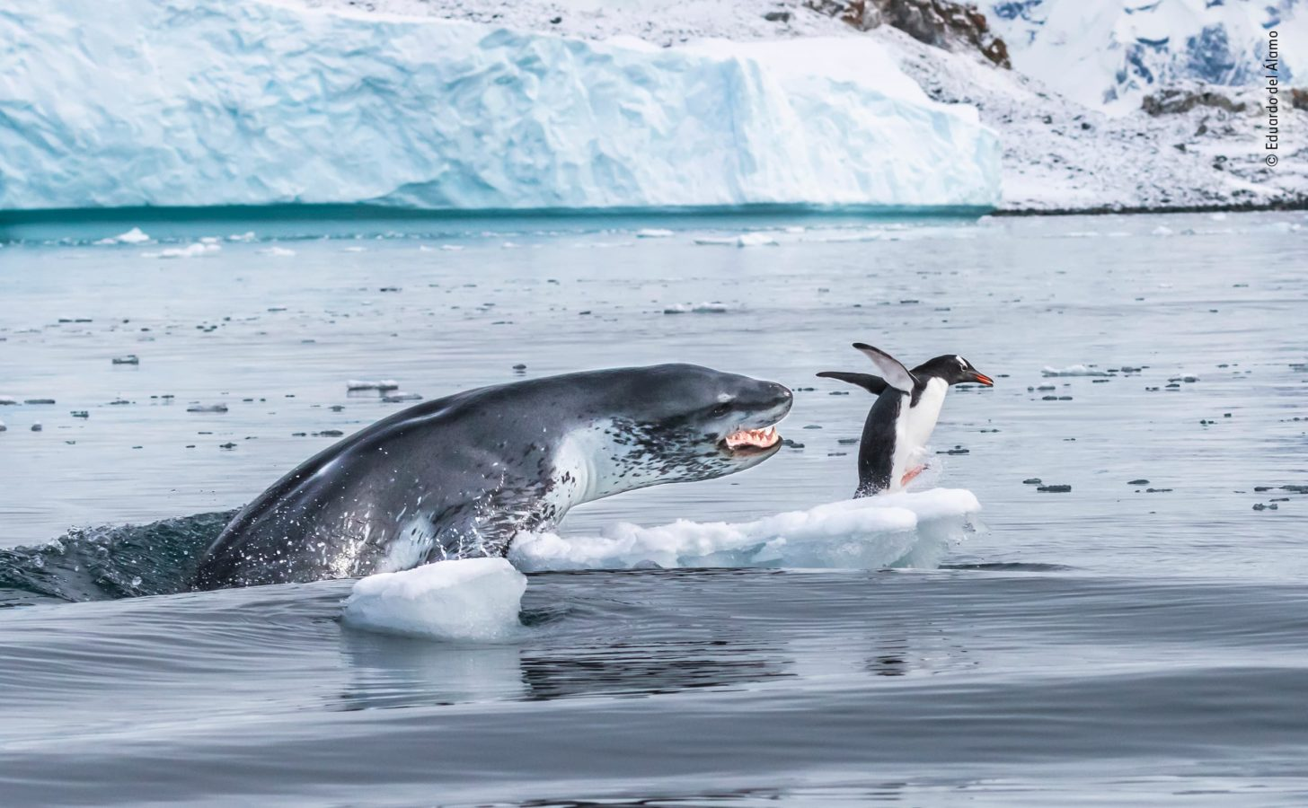 Pinguim com asas erguidas corre de uma foca sobre um pedaço de gelo.