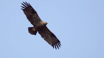 Águia-das-estepes voando