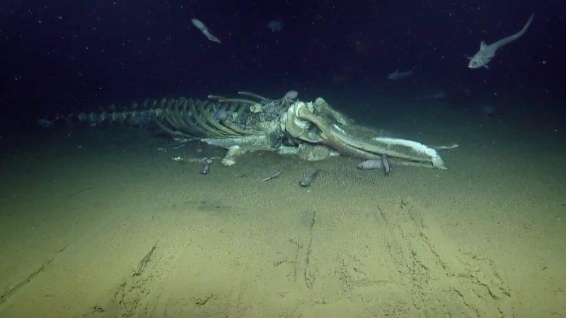 Cientistas mostram criaturas estranhas se alimentando de uma carcaça de baleia no fundo do mar