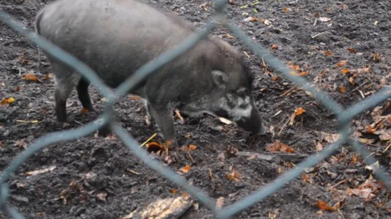 Vídeo mostra porcos usando ferramentas para construir ninhos