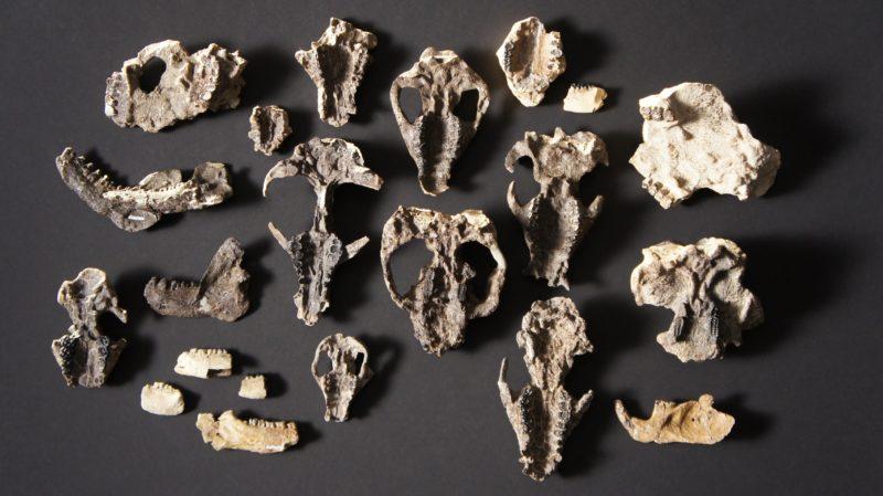 Crânios e mandíbulas de mamíferos descobertos no sítio arqueológico de Corral Bluffs, no Colorado.