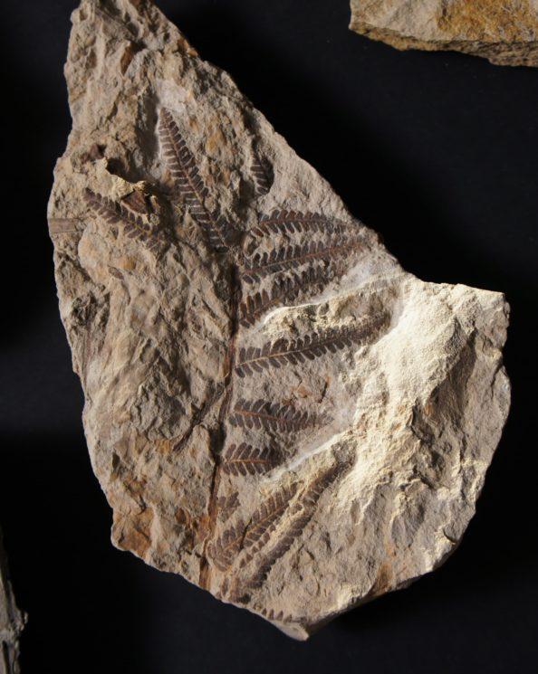 Um fóssil de samambaia coletado em Corral Bluff
