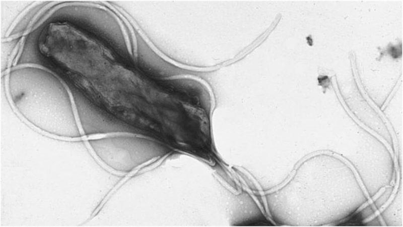 Bactéria H. pylori sob um microscópio